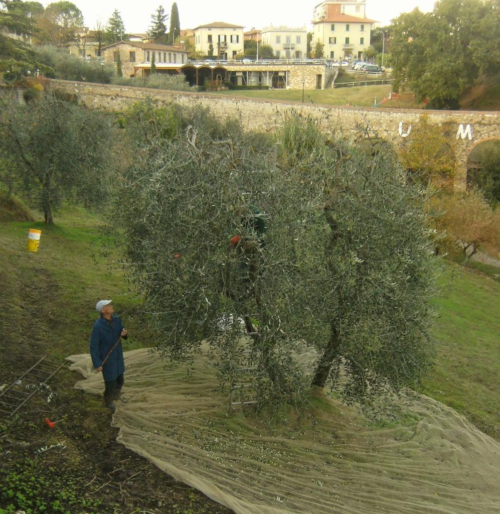 Italy - Colle di Val dElsa - Olive Harvest (997x1024)