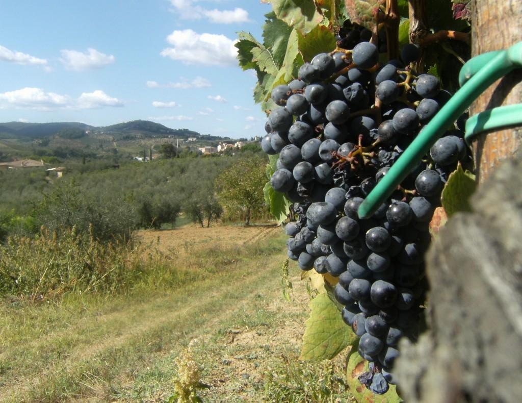 Italy - San Gimignano - Vines - 1 (1280x987)
